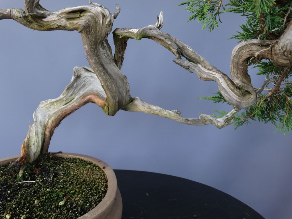 Bonsai Sabina
