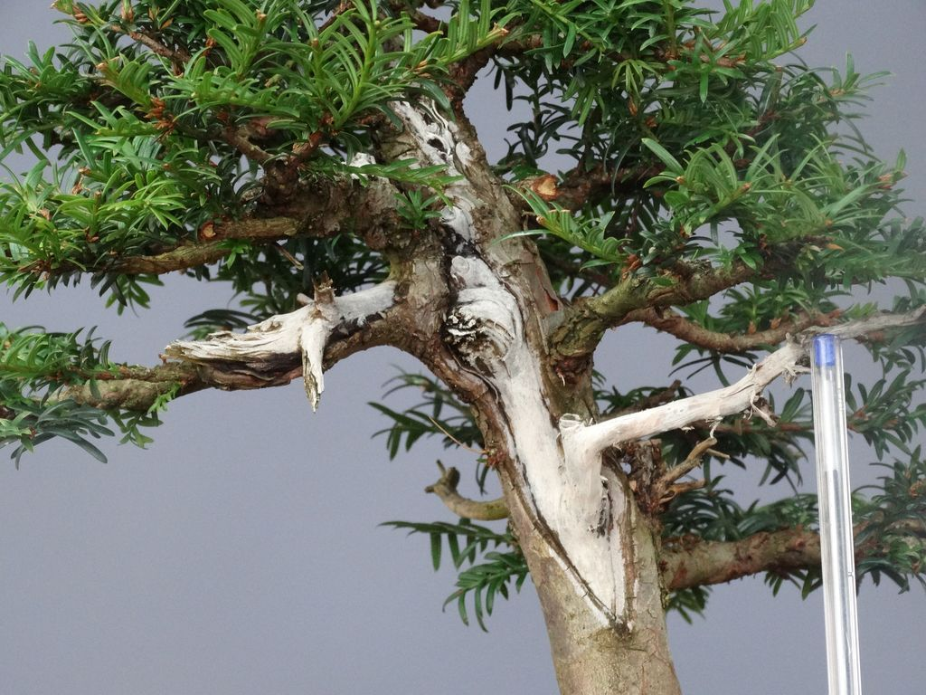 Tejo Bonsai