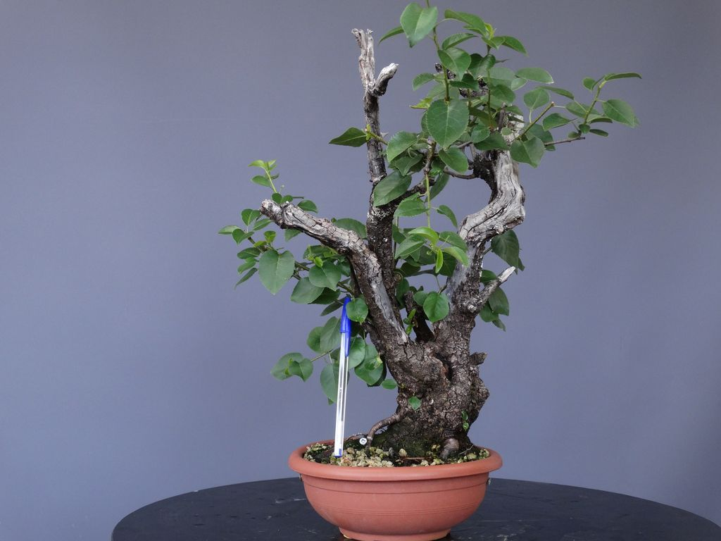 Bonsai Prunus
