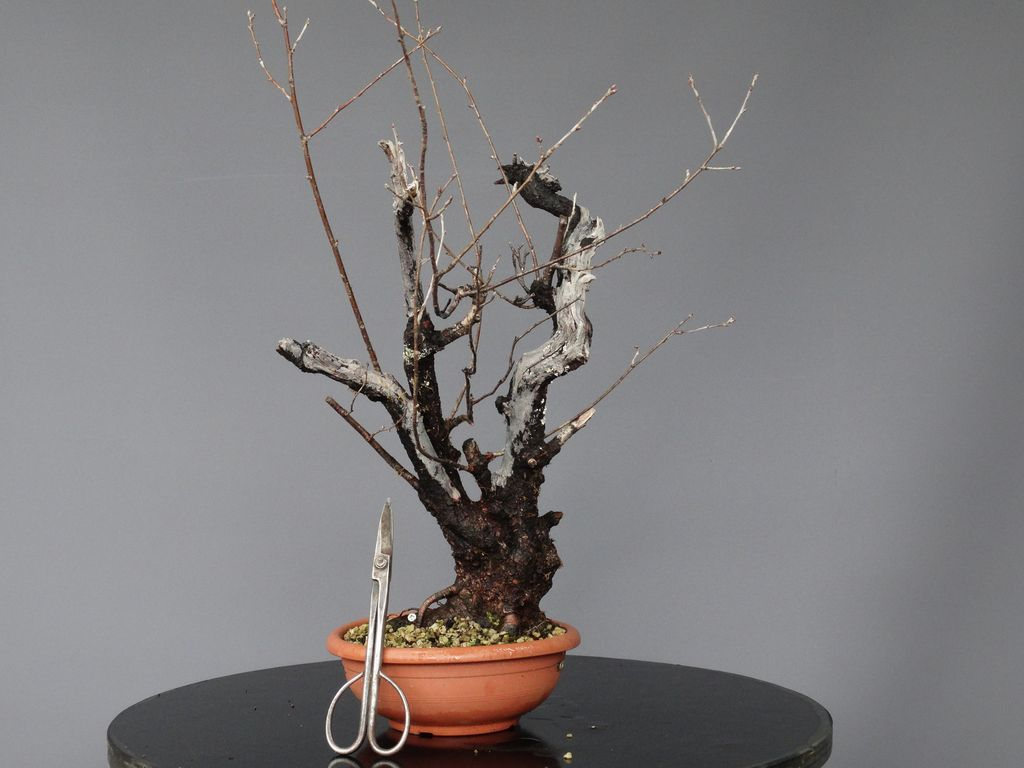 Prunus Bonsai