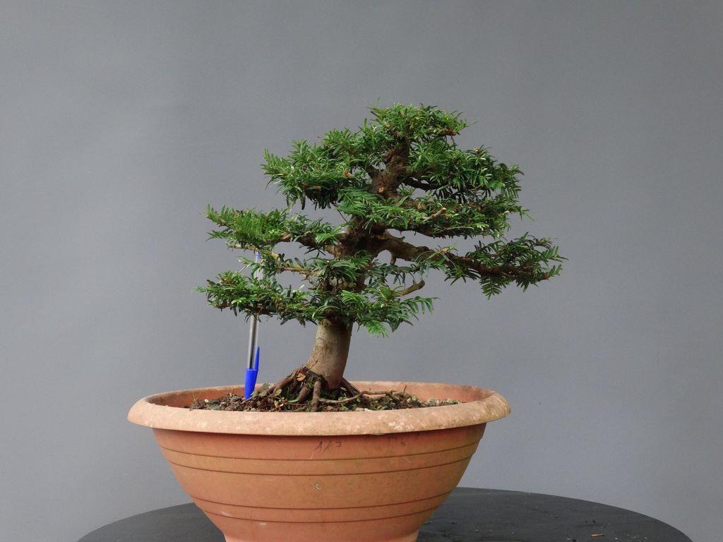 Tejo negro Bonsai